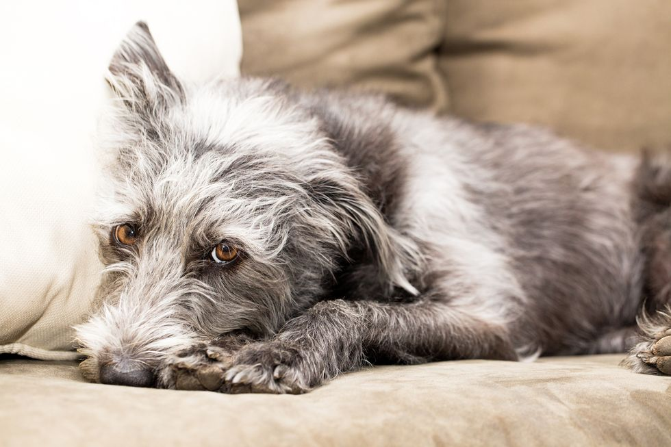 Can Your Dog Get the Flu?