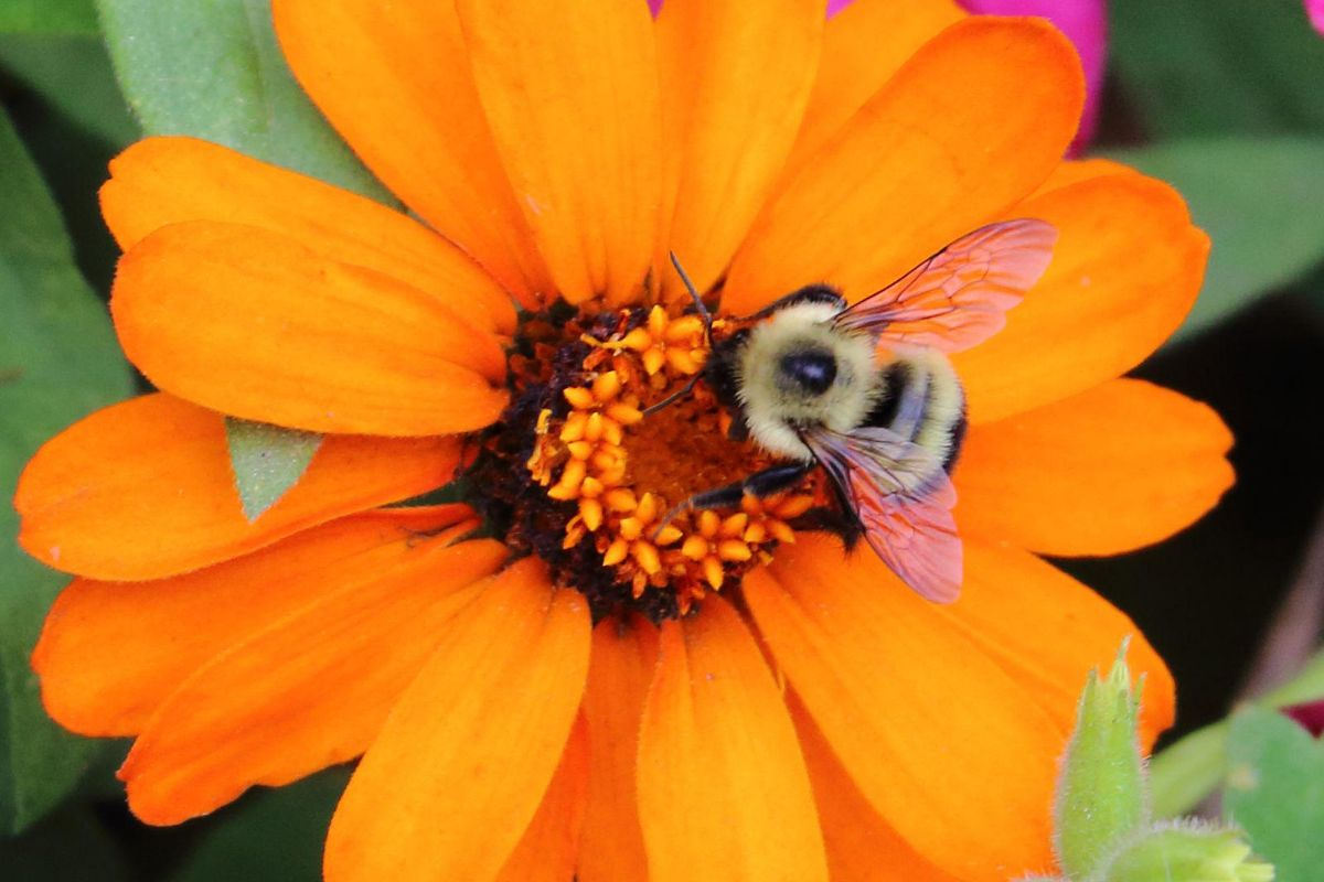Bee with Pink WIngs on Orange Daisy Flower
