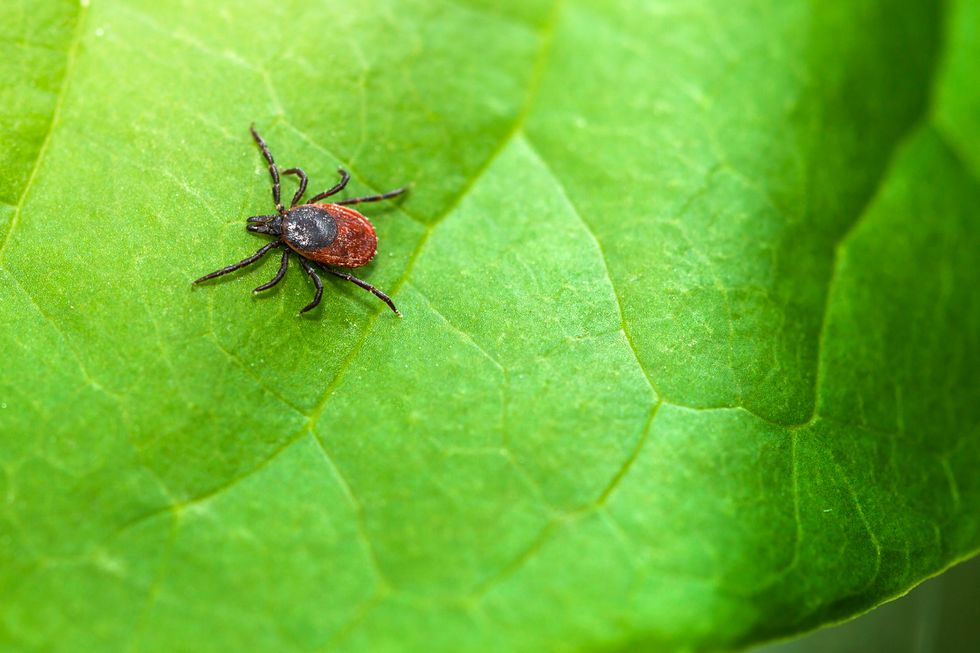 Lyme Disease Symptoms Could Be Mistaken for COVID-19, With Serious Consequences