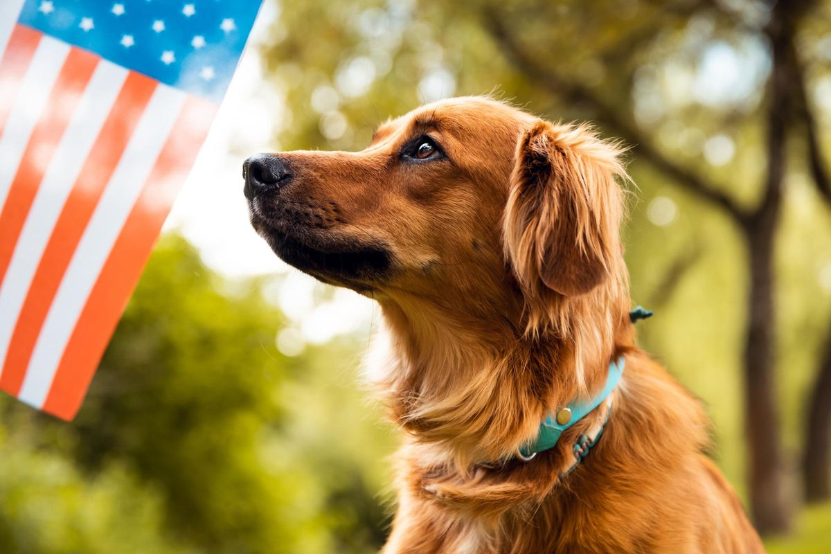 Red dog sitting and looking to American flag